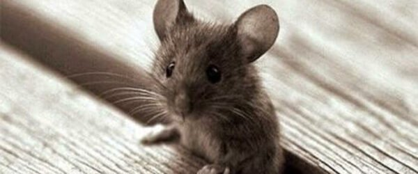 cute lovely mouse rat